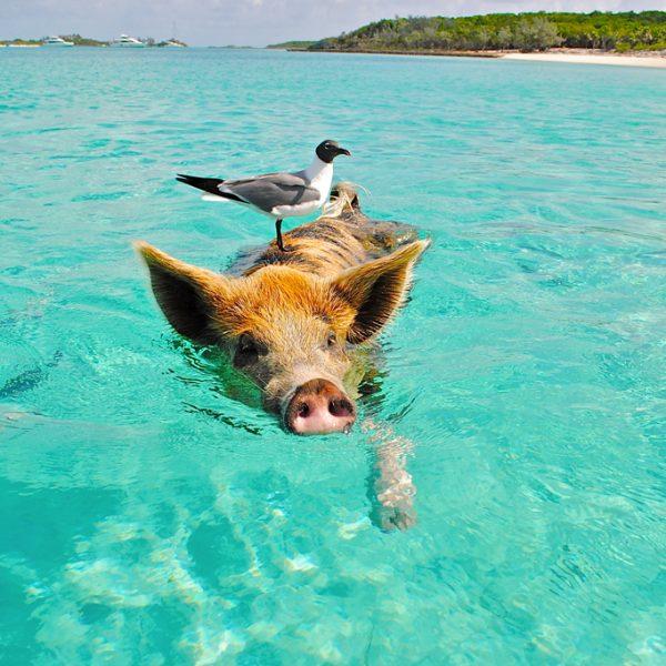 La baie des cochons aux Bahamas